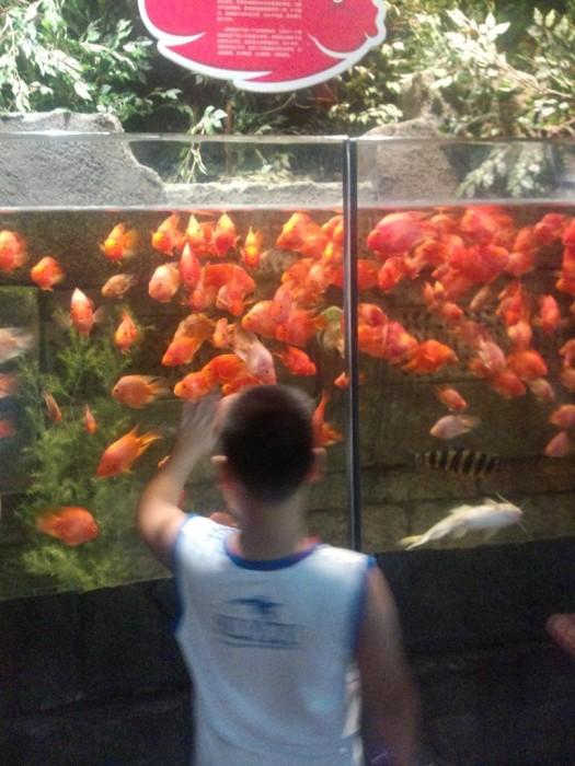 红色很好看的鱼,估计是吃肉的!